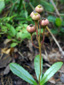 Common pipsissewa : 10- Young fruits (capsules)