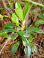 Common pipsissewa : 2- New leaves