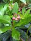 Chimaphile à ombelles : 4- Fleurs en boutons