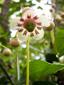 Chimaphile à ombelles : 7- Fleur