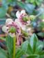 Chimaphile à ombelles : 8- Fleurs