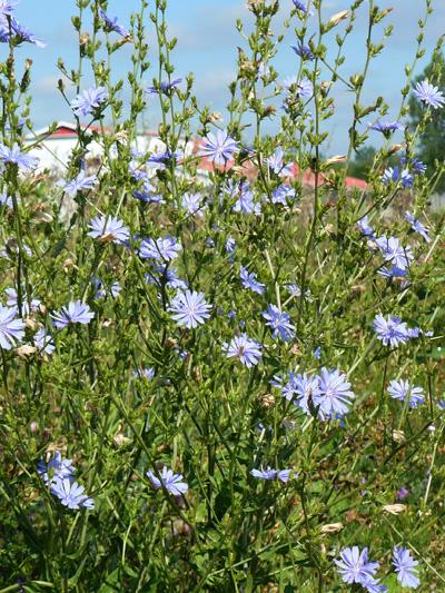 Chicoree sauvage (Cichorium intybus) Plante en fleur