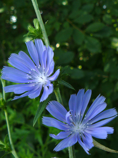 Wild chicory (Cichorium intybus) : Flowers