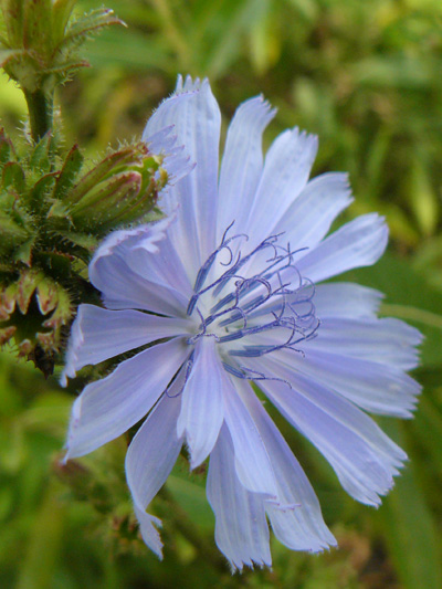 Wild chicory (Cichorium intybus) : Flower