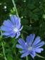 Chicorée sauvage : 10- Fleurs