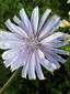 Wild chicory : 2- Flower