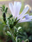 Wild chicory : 4- Flower and buds