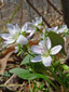 Carolina spring beauty : 1- Flowering plants