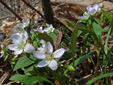 Carolina spring beauty : 7- Flowering plants