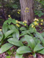 Yellow Clintonia : 8- Colony