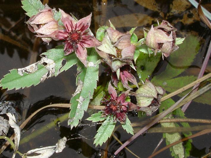 Comaret des marais (Comarum palustre) Plantes en fleurs