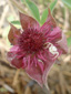 Marsh cinquefoil : 1- Flower (with a spider)