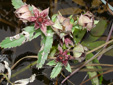 Marsh cinquefoil : 2- Flowering plants