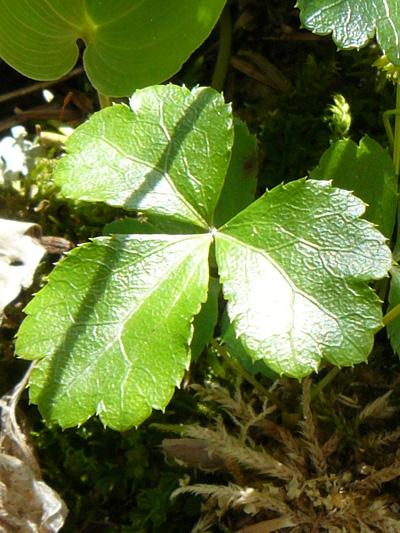 Coptide savoyane (Coptis trifolia) Feuille