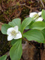 Bunchberry : 1- Flowering plants