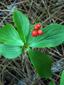 Bunchberry : 12- Fruits (berries)