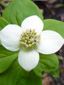 Bunchberry : 2- Flower head