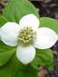 Cornouiller quatre-temps : 2- Fleur (Capitule)