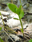 Cornouiller quatre-temps : 3- Jeune plante