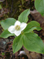 Bunchberry : 6- Flowering plant, white bracts