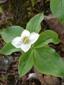 Cornouiller quatre-temps : 6- Plantes en fleur, bractées blanches