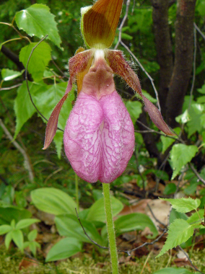 Pink lady's-slipper (Cypripedium acaule) : Flower