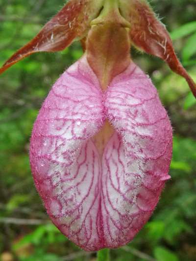 Pink lady's-slipper (Cypripedium acaule) : Flower (details)