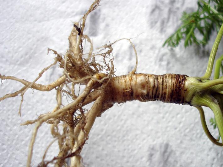 Carotte sauvage (Daucus carota) Tubercule
