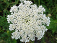 Wild carrot : 2- Inflorescence
