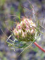 Wild carrot : 3- Buds