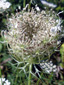 Wild carrot : 5- Young fruits