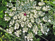 Wild carrot : 8- Young inflorescence with red central flower