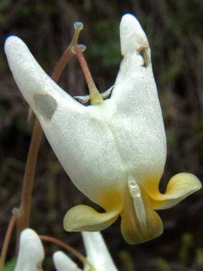 Dutchman's breeches (Dicentra cucullaria) : Flower
