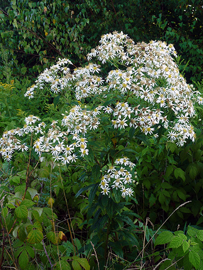 Flat-top white aster (Doellingeria umbellata) : Plant in bloom