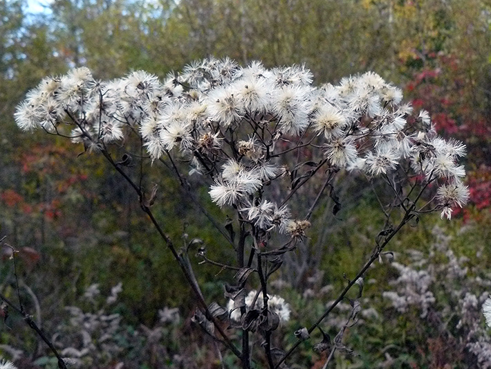 Flat-top white aster (Doellingeria umbellata) : Fruiting plant