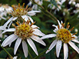 Flat-top white aster : 6- Flowers (Flower heads)