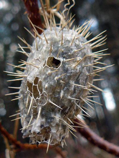 Concombre grimpant (Echinocystis lobata) Fruit sèche