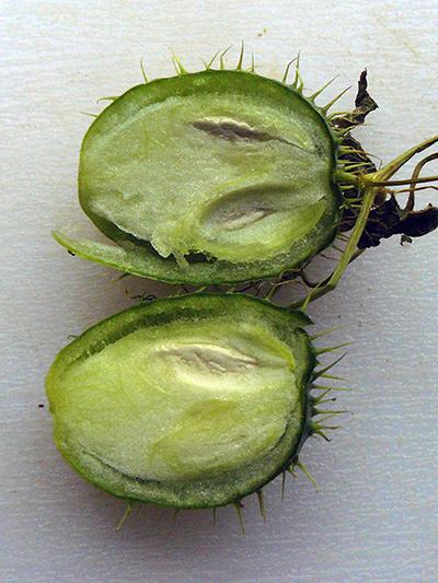Concombre grimpant (Echinocystis lobata) Fruit, coupe longitudinale