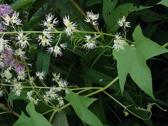 Concombre grimpant (Echinocystis lobata) Plane en fleurs (partie)