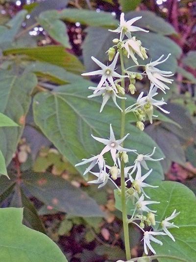 Concombre grimpant (Echinocystis lobata) Fleurs et boutons