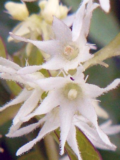 Concombre grimpant (Echinocystis lobata) Fleurs