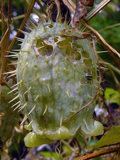 Concombre grimpant (Echinocystis lobata) Fruit ouvert
