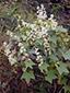 Wild cucumber : 1- Flowering plant