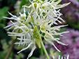 Concombre grimpant : 4- Fleurs