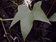 Wild cucumber : 6- Leaf