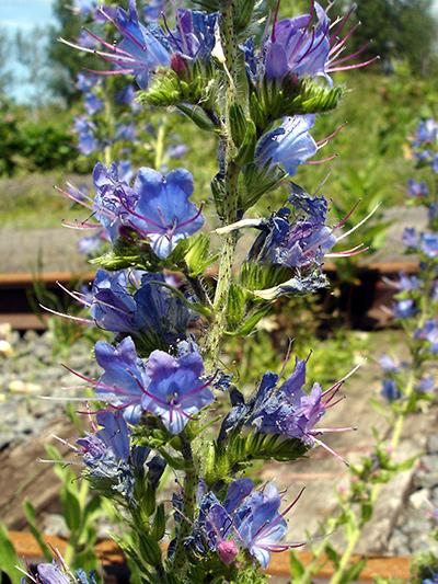 Viperine commune (Echium vulgare) Inflorescence