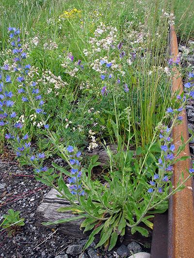 Viperine commune (Echium vulgare) Plante en fleurs