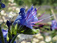 Common viper's Bugloss : 3- Flower