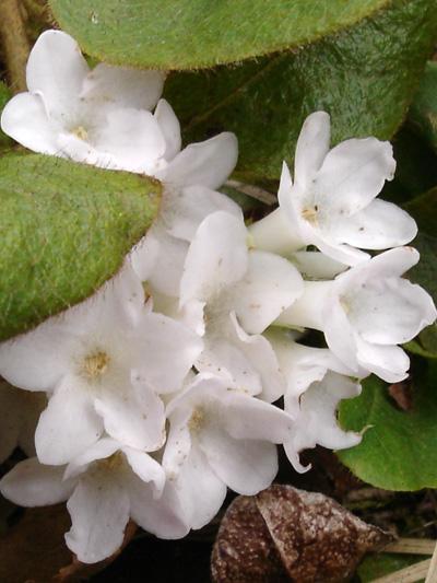 Epigee fleur-de-mai (Epigaea repens) Inflorescence