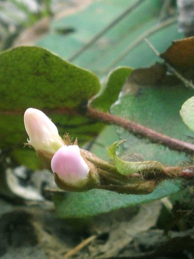 Trailing arbutus (Epigaea repens) : Flowers buds